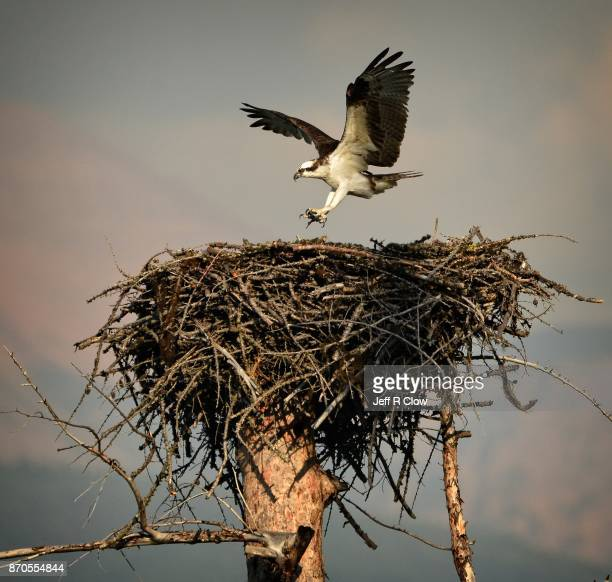osprey in the wild - fischadler stock-fotos und bilder