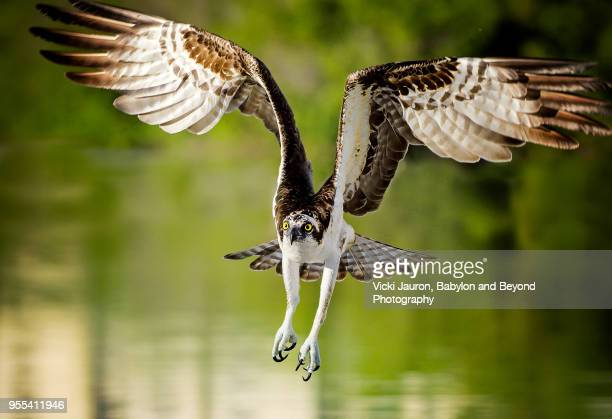 Osprey Intensity Against Green Water at Fort Myers Beach, Florida