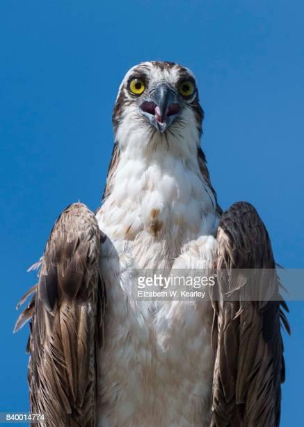Osprey Looking at Camera