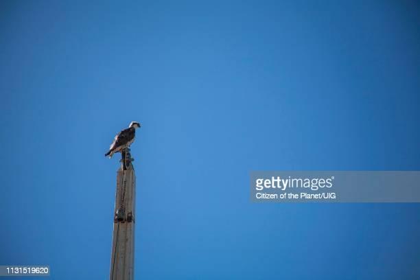 Osprey, Marina Del Rey, Los Angele