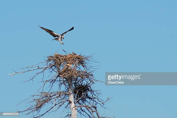 osprey nesting. - eagle nest stock photos and pictures
