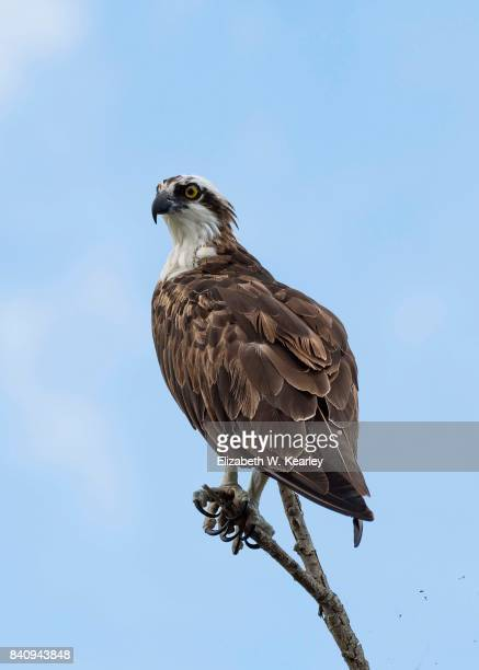 osprey on a tree branch - fischadler stock-fotos und bilder