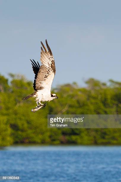 Osprey Pandion haliaetus in flight after catching mullet fish and flying to safe ground to eat it Captiva Island Florida USA