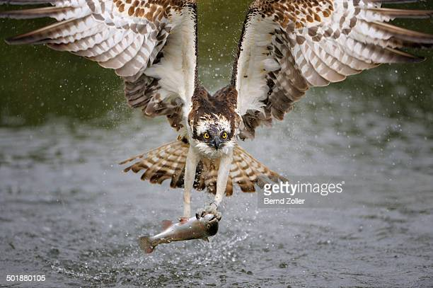 osprey -pandion haliaetus- in flight with a rainbow trout -oncorhynchus mykiss- as prey, pothiolampi, kangasala, westfinnland, finland - african fish eagle stock photos and pictures