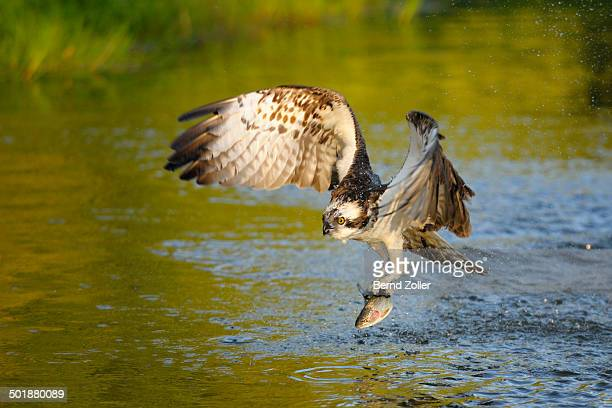 osprey -pandion haliaetus- in flight with rainbow trout -oncorhynchus mykiss- as prey, pothiolampi, kangasala, westfinnland, finland - african fish eagle stock photos and pictures