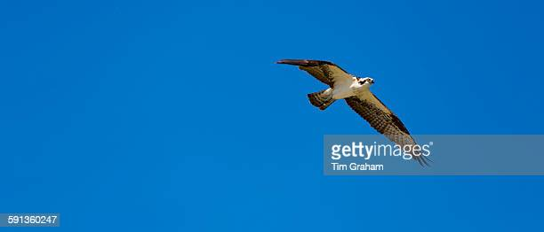 Osprey Pandion haliaetus in flight with wings outstretched in wingbeat flying and soaring over Captiva Island Florida USA