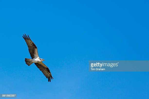 Osprey Pandion haliaetus in flight with wings outstretched in wide wingspan flying and soaring over Captiva Island Florida USA