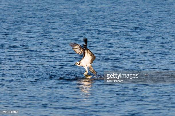 Osprey Pandion haliaetus swooping down and catch mullet fish on Captiva Island Florida USA