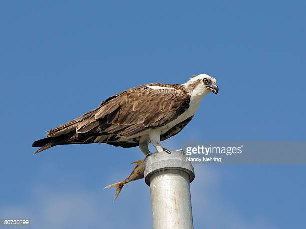 osprey, pandion haliaetus, with fish perched on a pole. everglades national park, florida, usa. unesco world heritage site (biosphere reserve). - nancy hunt stock pictures, royalty-free photos & images