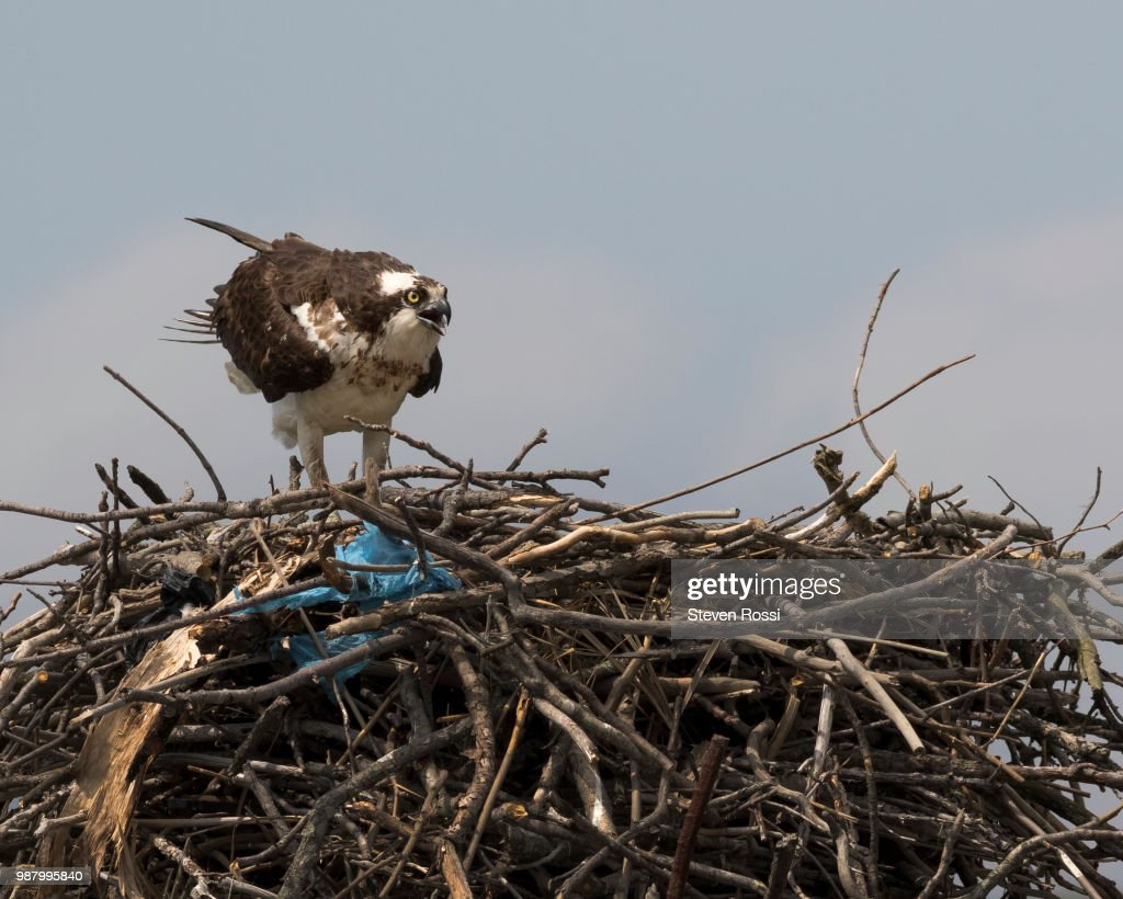 Osprey : Stock Photo