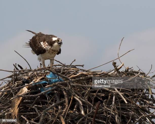 osprey - hawk nest stock photos and pictures