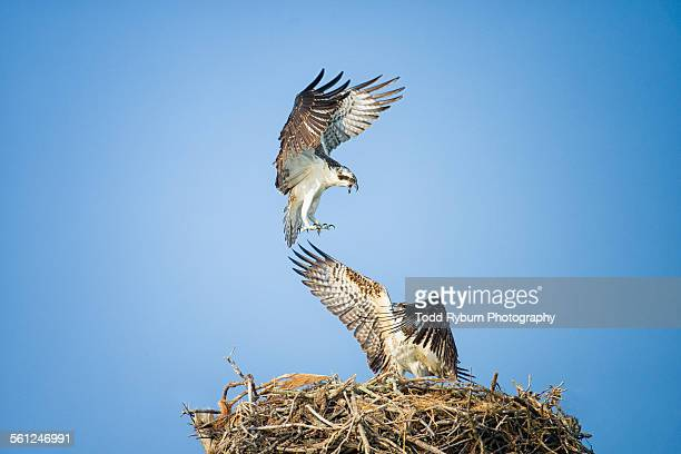 osprey play - fischadler stock-fotos und bilder