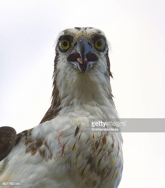 Osprey Portrait Closeup - Pandion haliaetus
