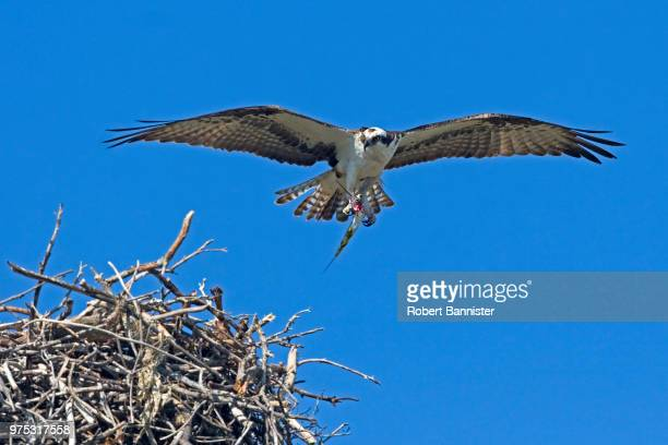 osprey returning to nest with fish - hawk nest stock photos and pictures
