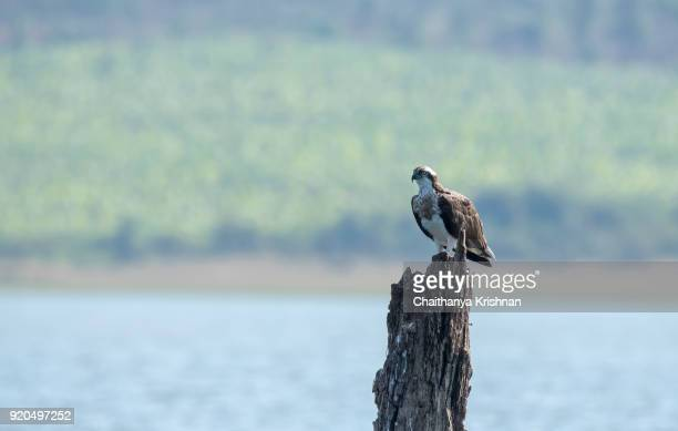 osprey sitting on a tree branch inside nagarhole national park during boat ride. - hawk nest stock photos and pictures