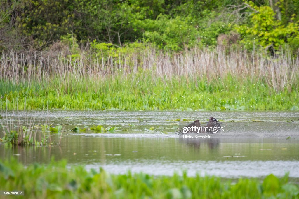 Osprey Submerged : Stock-Foto