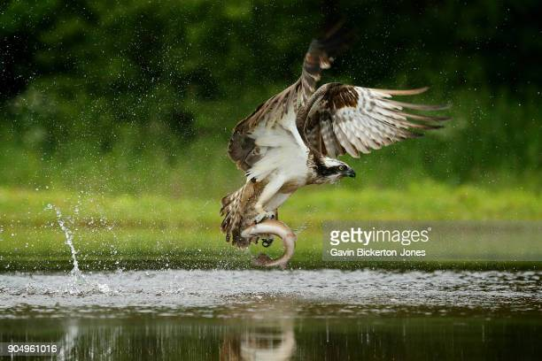osprey takes rainbow trout from lake. - fischadler stock-fotos und bilder