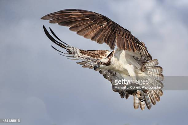osprey wings and fish - fischadler stock-fotos und bilder