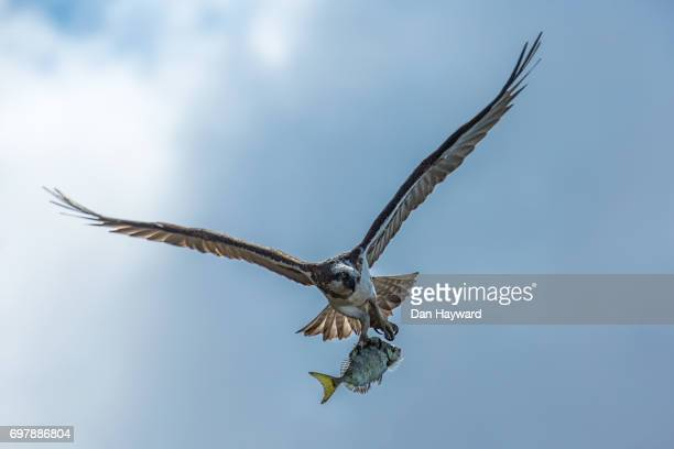 osprey with a happy moment