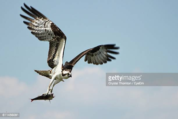 osprey with fish flying against sky - fischadler stock-fotos und bilder