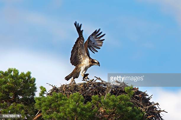 Osprey with fish landing on nest in tree Sweden