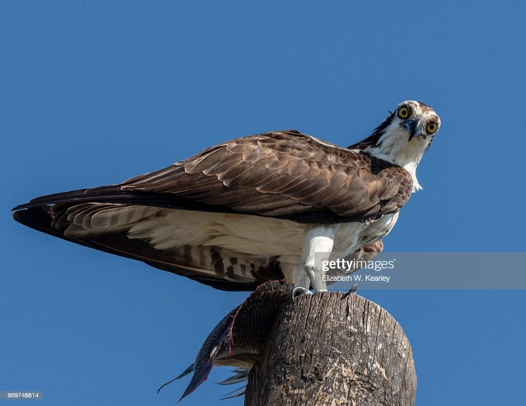 Osprey With Fish on Top of Telephone Pole : Stock Photo