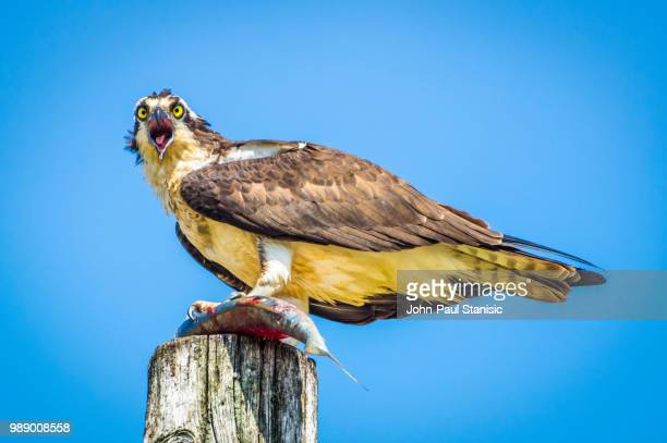 osprey with lunch - harpij arend stockfoto's en -beelden