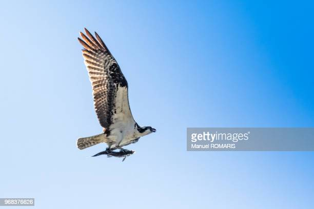 osprey with prey, glacier national park, us - snavel stockfoto's en -beelden