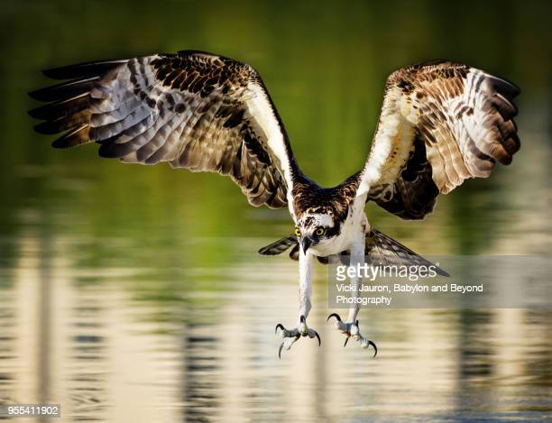 osprey with talons out and ready at fort myers beach, florida - raubvogel stock-fotos und bilder