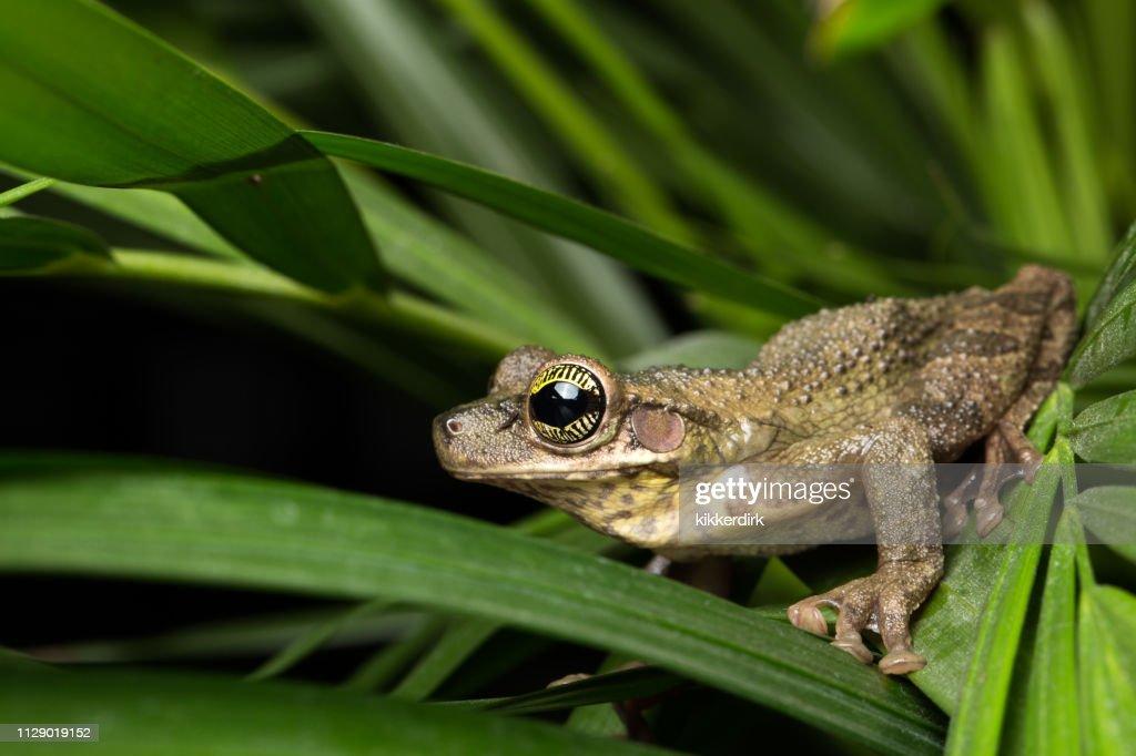 osteocephalus taurinus. a treefrog from the amazon rain forest : Stock Photo