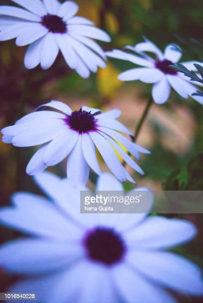 osteospermum asti - blue eyed daisy - neha gupta stock pictures, royalty-free photos & images