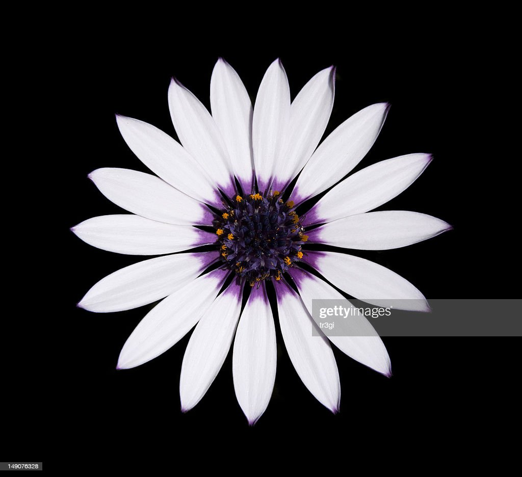 Osteospermum Asti White Daisy With Purple Center On Black Stock