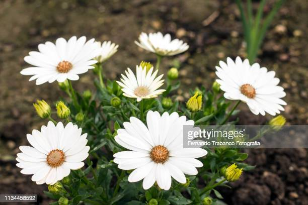 osteospermum ecklonis flower (dimorfoteca) - flowering plant stock pictures, royalty-free photos & images