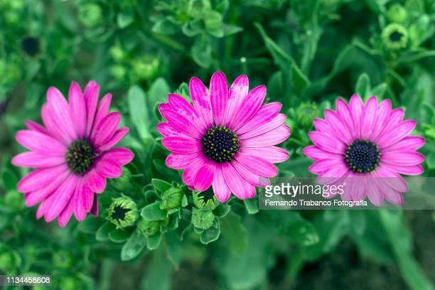 Osteospermum Ecklonis Flower (dimorfoteca)