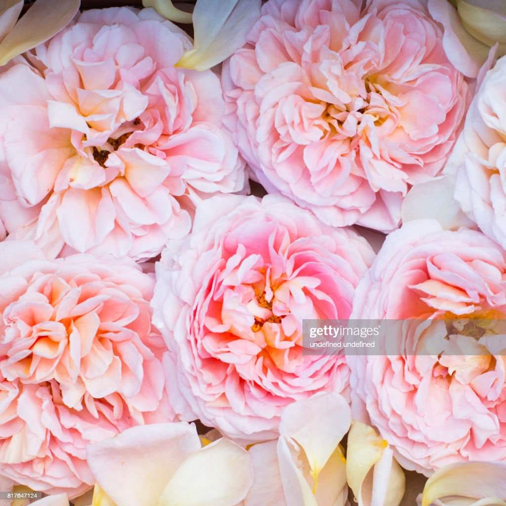 Ostin Peach Pink Roses Pattern Background Texture Stock Photo