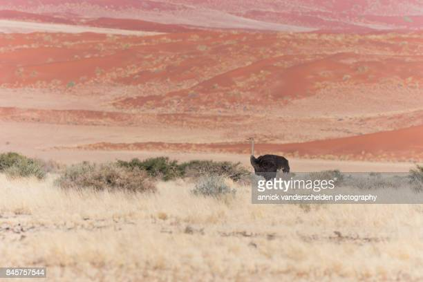 ostrich against red dunes background. - ostrich stockfoto's en -beelden