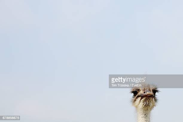 Ostrich Against Sky