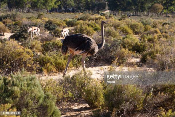 ostrich and antelopes grazing in nature reserve, touws river, western cape, south africa - avestruz fotografías e imágenes de stock