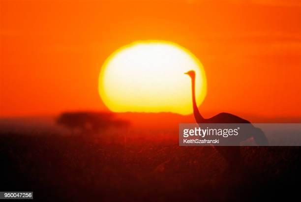struisvogel bij dageraad - ostrich stockfoto's en -beelden