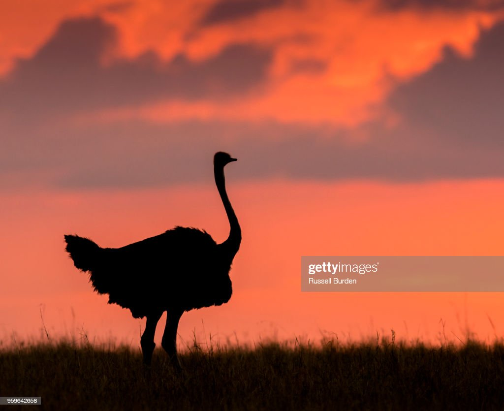 Ostrich at Sunset in Silhouette : Stock-Foto
