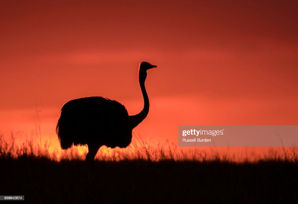 Ostrich at Sunset in Silhouette : Stock Photo