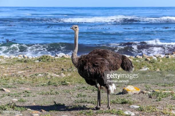 ostrich at the cape of good hope nature reserve - avestruz fotografías e imágenes de stock
