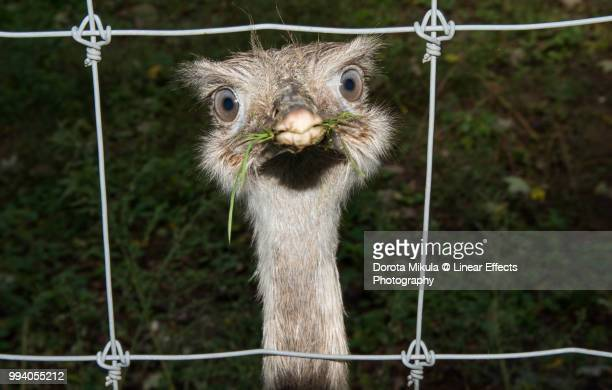 ostrich close up - ostrich stockfoto's en -beelden