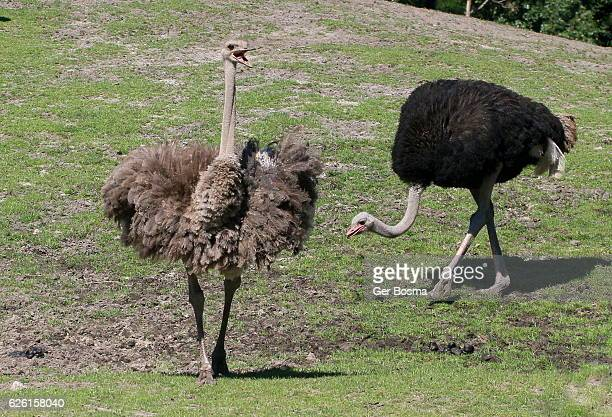 Ostrich Courtship Canter