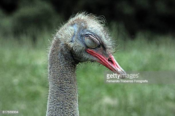 ostrich dreaming