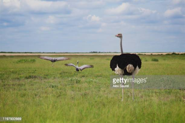 ostrich , etosha national parc, namibia - avestruz fotografías e imágenes de stock