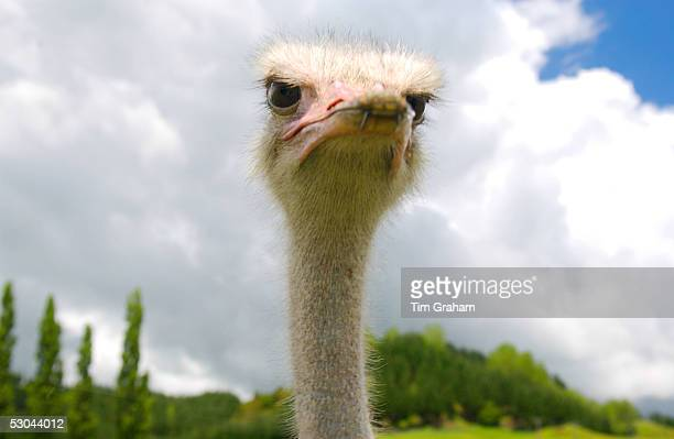 Ostrich face North Island New Zealand