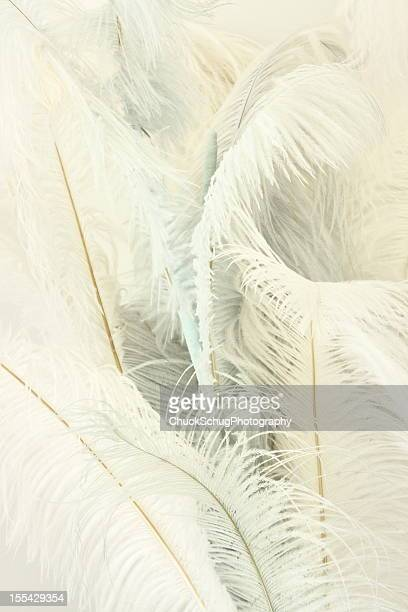 ostrich feather plumes struthio camelus - feather boa stock pictures, royalty-free photos & images
