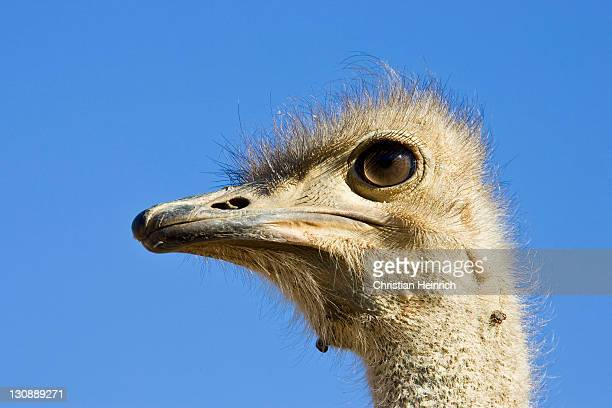 ostrich head (struthio camelus), namibia, africa - vista lateral stock pictures, royalty-free photos & images