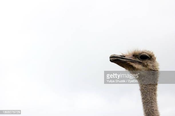 ostrich head on a long neck against the sky copy space. - long neck animals stock pictures, royalty-free photos & images